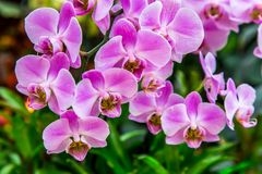 Beautiful orchid flower and green leaves background in the garden. Orchids close up. The Orchidaceae are a diverse and widespread family of flowering plants royalty free stock photography