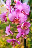 Beautiful orchid flower and green leaves background in the garden. Orchids close up. The Orchidaceae are a diverse and widespread family of flowering plants royalty free stock photos