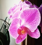 Orchidaceae flower from the window. Artistic look in vintage colours. Stock Photography