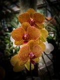Orchidaceae gialla e rossa delle fioriture dell'orchidea fotografie stock