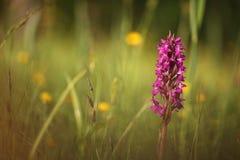 Orchidaceae La natura selvaggia della repubblica Ceca Fotografia Stock Libera da Diritti