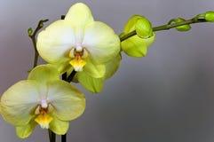 Orchidaceae op een grijze achtergrond royalty-vrije stock foto's