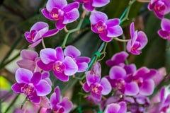 Orchidaceae, Orchideebloem in de tuin, aardachtergrond of behang Royalty-vrije Stock Afbeelding
