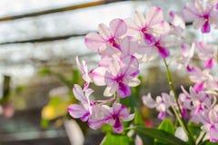 Orchidaceae, Orchideebloem in de tuin, aardachtergrond of behang Royalty-vrije Stock Afbeeldingen
