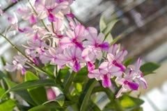 Orchidaceae, Orchideebloem in de tuin, aardachtergrond of behang Stock Fotografie
