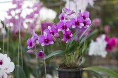 Orchidaceae, Orchideebloem in de tuin, aardachtergrond of behang Stock Afbeeldingen