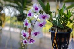 Orchidaceae, Orchideebloem in de tuin, aardachtergrond of behang Stock Foto