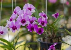 Orchidaceae, Orchideebloem in de tuin, aardachtergrond of behang Royalty-vrije Stock Foto's