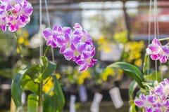 Orchidaceae, Orchideebloem in de tuin, aardachtergrond of behang Royalty-vrije Stock Fotografie