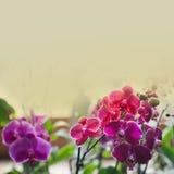 Orchidaceae Phalaenopsis. Toned photo Royalty Free Stock Photo