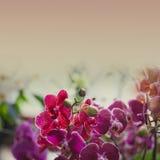 Orchidaceae Phalaenopsis. Toned photo Stock Image