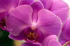 Orchidaceae, Purple orchids. Royalty Free Stock Image