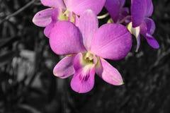 Orchidaceae purpur kwiat Zdjęcie Stock