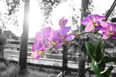 Orchidaceae purpur kwiat Obrazy Stock