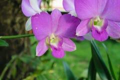 Orchidaceae purpur kwiat Obraz Royalty Free