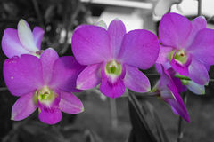 Orchidaceae purpur kwiat Zdjęcie Royalty Free