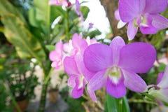 Orchidaceae purpur kwiat Zdjęcia Royalty Free