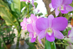 Orchidaceae purpur kwiat Fotografia Stock