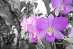 Orchidaceae purpur kwiat Obrazy Royalty Free
