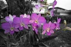 Orchidaceae purpur kwiat Zdjęcia Stock