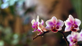 Orchidaceae twig. Orchid twig in pink white colors Stock Photography