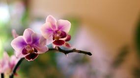 Orchidaceaezweig stockfoto