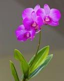 Orchidblomma i en trädgård Arkivfoton