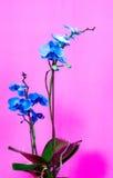 Orchidblommor Royaltyfri Foto