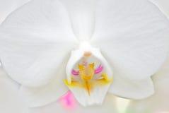 orchiddelwhite Royaltyfri Foto