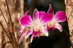 OrchidDendrobium Arkivbild