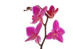 Orchide Stockbild