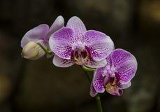 Orchide Immagine Stock