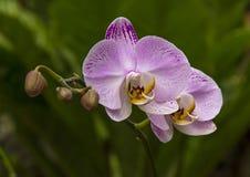 Orchide Fotografie Stock