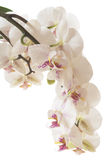 Orchidée Images stock