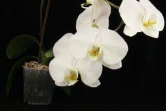orchide Стоковая Фотография