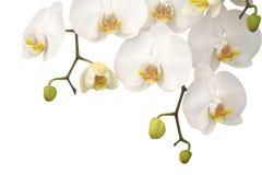 Orchidée blanche Photographie stock