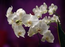 Orchide in close up stock image