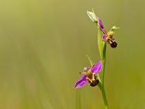 Orchidée d'abeille (apifera d'Ophrys) Image stock