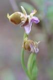 Orchidée d'évêques sur Crète Image stock