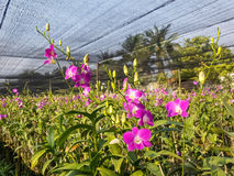 Orchidée de Dendrobium dans le jardin Photos stock