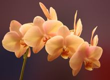 Orchide in dichte omhooggaand Stock Foto's