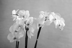 Orchide, monochrom zdjęcie stock