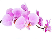 Orchide okwitnięcie odizolowywający Obrazy Stock