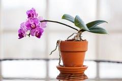 Orchidée pourpre Photos libres de droits