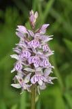 Orchidée repérée par terrain communal Photos libres de droits