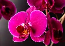 Orchidea花自然植物学绽放 免版税图库摄影