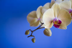 Orchidea immagini stock