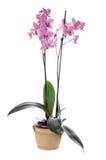 Orchidea Royalty Free Stock Photos