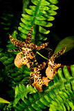 Orchidea Immagini Stock Libere da Diritti