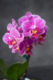 Orchidea Royalty Free Stock Photography